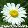 camomiletea
